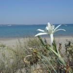 Пясъчна_лилия